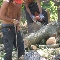 Ingold Tree Service - Landscape Contractors & Designers - 519-623-1566