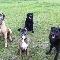Hall's Neighbourhood Bullies Boarding Kennel - Kennels - 250-318-8367