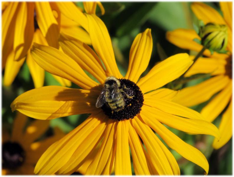 Black Eye Bee