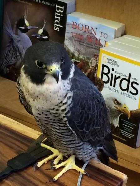 Feathered Friends visit for our Spring & Fall Open-House! This is Vinnie the Peregrine Falcon.