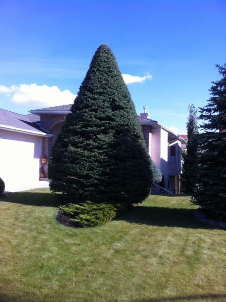 Spruce Shaping