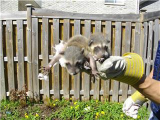 Baby Raccoon Problems?      We will remove them from your home and relocate them to live in a safe habitat.