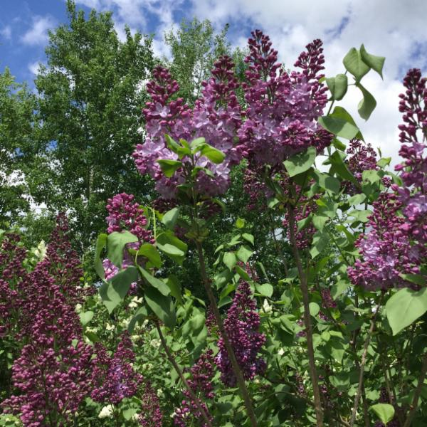 Image result for lilacs in hemmingford quebec